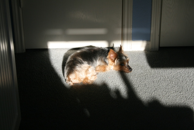 my dog sunbathing, she actually moved as the sun moved