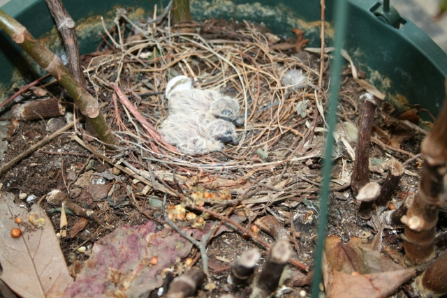 our little hatched dove eggs