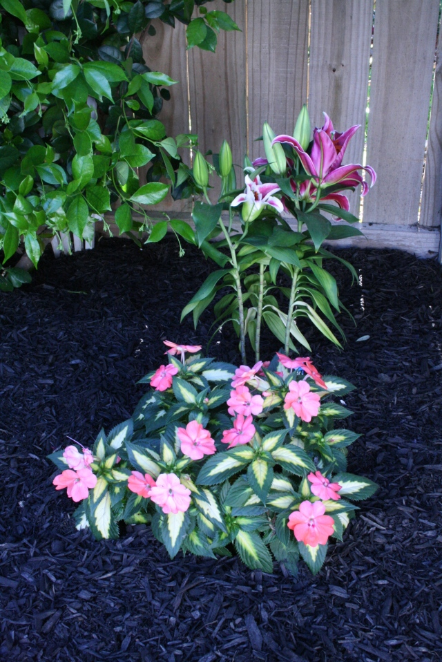 I planted these last week and the Lilies look really good, along with Sun Patients