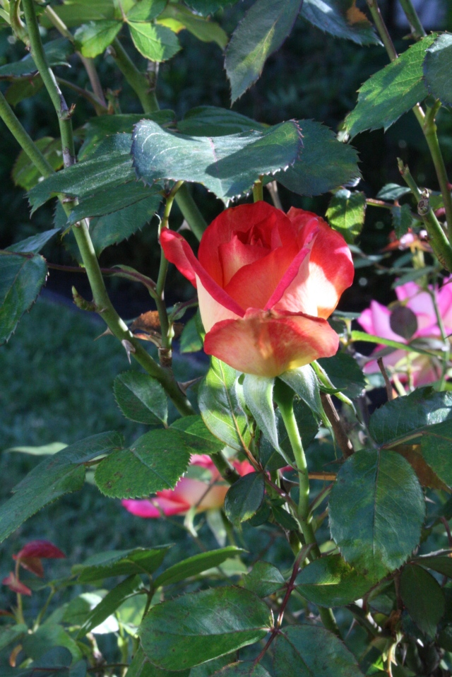 this is just one rose bud, but I love the color