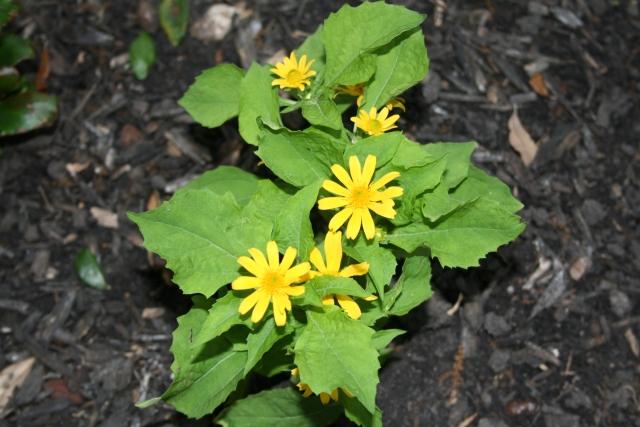 my little daisy like flowers