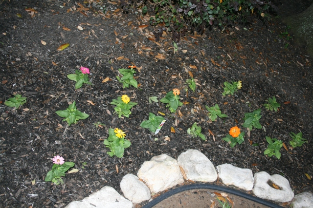 the zinnias