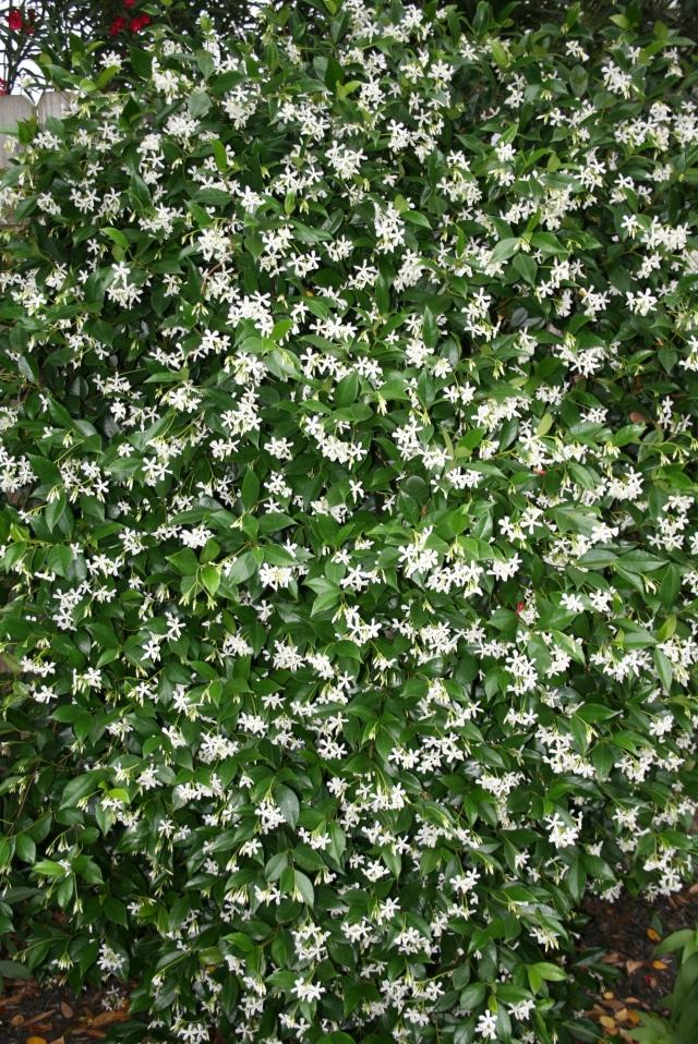 my cape jasmine vine