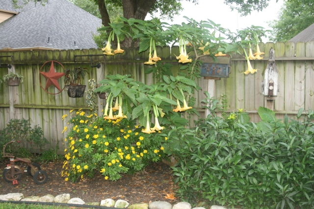 our angel trumpet