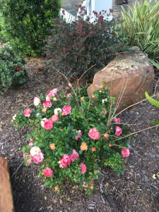 rose bush.  it has a crepe myrtle growing in it.  I'll need to separate it later